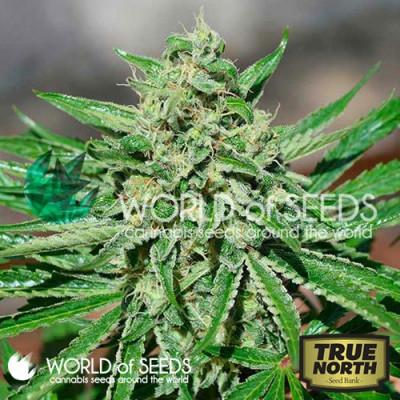 CBD Tonic Feminized Seeds (World of Seeds)