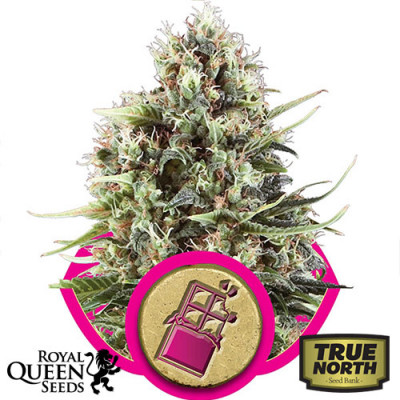 Chocolate Haze Feminized Seeds (Royal Queen Seeds)