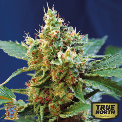 Cream Mandarine XL Auto Feminized Seeds (Sweet Seeds)