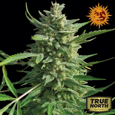 Critical Kush Feminized Seeds (Barney's Farm)