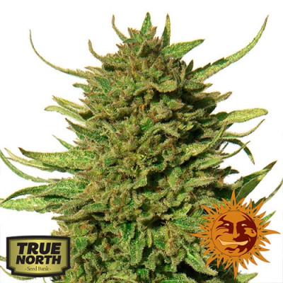 Critical Kush REGULAR Seeds (Barney's Farm)