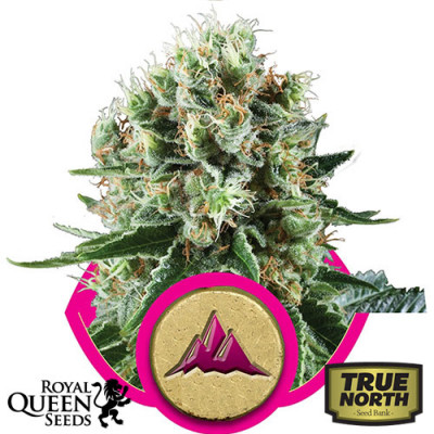 Critical Kush Feminized Seeds (Royal Queen Seeds)