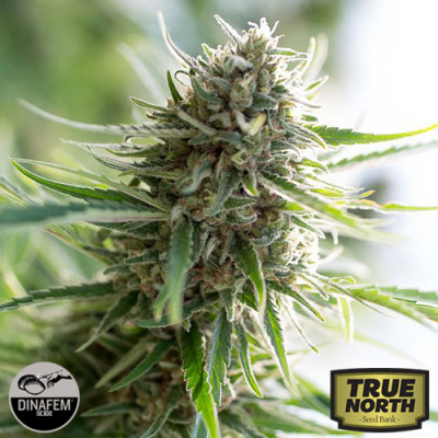 Critical Mass CBD Feminized Seeds (Dinafem)