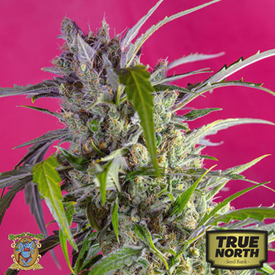 Crystal Candy Auto Feminized Seeds (Sweet Seeds)