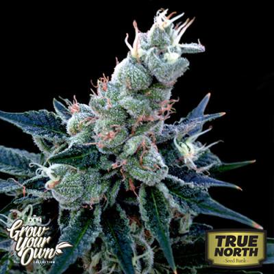 Double Alien 18 Feminized Seeds (DNA Genetics - Grow Your Own)