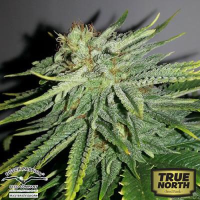 Durban Poison Regular Seeds (Dutch Passion)
