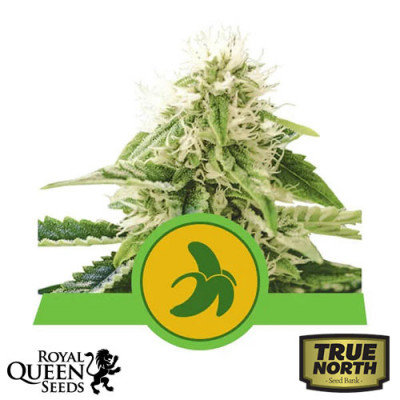 Fat Banana Automatic Feminized Seeds (Royal Queen Seeds)