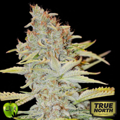 Furious Candy FEMINIZED Seeds (EVA Seeds)