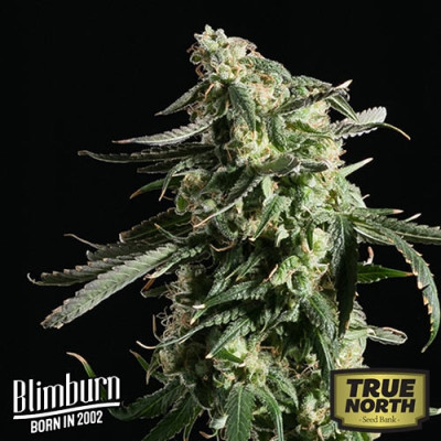 Girl Scout Cookies Auto Feminized Seeds (BlimBurn Seeds)