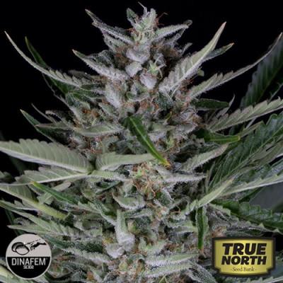 Gorilla Autoflowering Feminized Seeds (Dinafem)