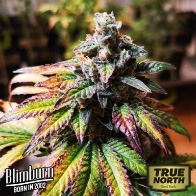 Gorilla Glue #4 FEMINIZED Seeds (BlimBurn Seeds)