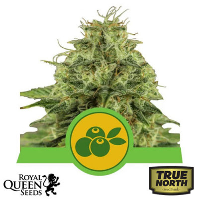 Haze Berry Automatic Feminized Seeds (Royal Queen Seeds)