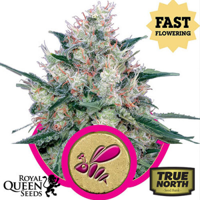 Honey Cream FAST Version Feminized Seeds (Royal Queen Seeds)