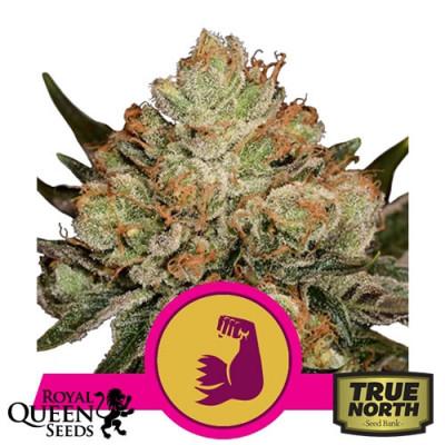 HulkBerry Feminized Seeds (Royal Queen Seeds)