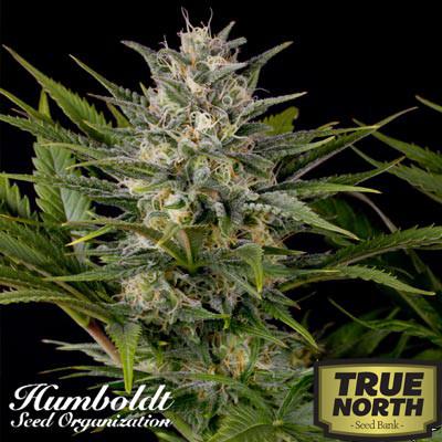 Pineapple Shunk Feminized Seeds (Humboldt Seed Org)