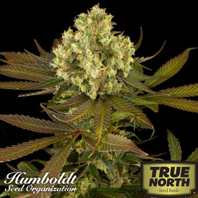 Sour Blueberry Feminized Seeds (Humboldt Seed Org)