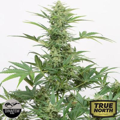 Industrial Plant Autoflowering CBD Feminized Seeds (Dinafem)