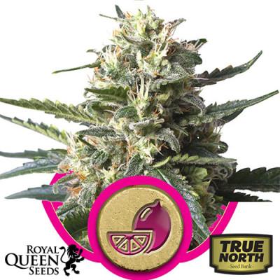 Lemon Haze Feminized Seeds (Royal Queen Seeds)