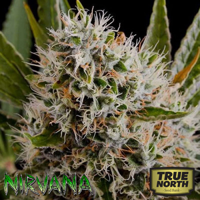 Lithium OG Kush FEMINIZED Seeds (Nirvana Seeds)