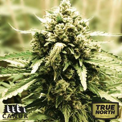 LSD Feminized Seeds (Canuk Seeds) - ELITE STRAIN