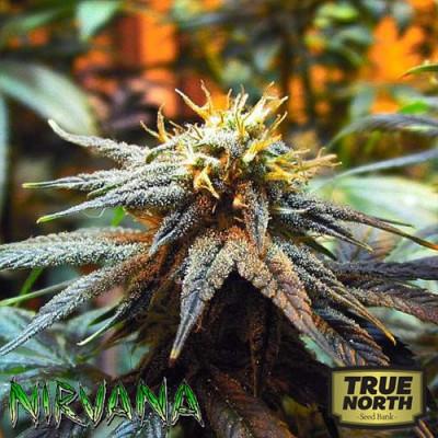 Mango Skunk FEMINIZED Seeds (Nirvana Seeds)