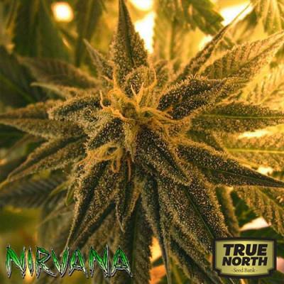 Mango Skunk REGULAR Seeds (Nirvana Seeds)