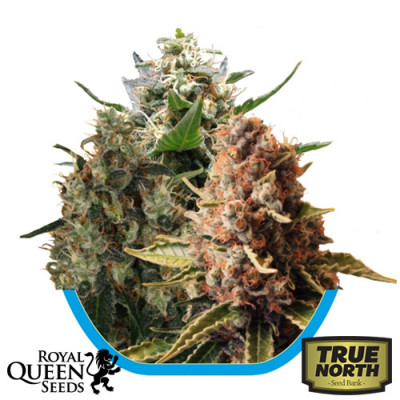 Medical Mix Feminized Seeds (Royal Queen Seeds)