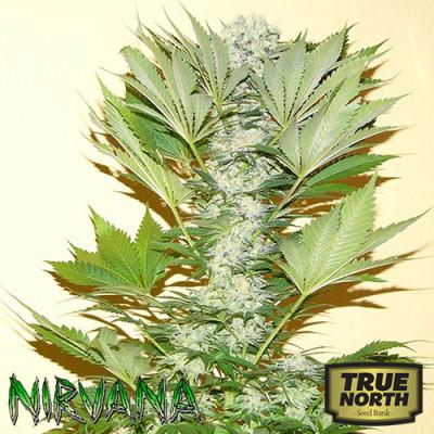 Misty Kush FEMINIZED Seeds (Nirvana Seeds)