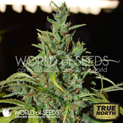 Neville Haze Ryder Auto Feminized Seeds (World of Seeds)
