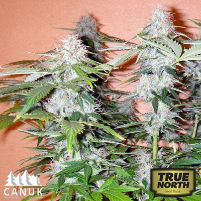 Northern Lights Autoflowering Feminized Seeds (Canuk Seeds)