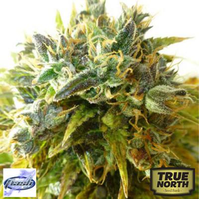 Onyx Autoflowering Regular Seeds - 8 (Flash Seeds)