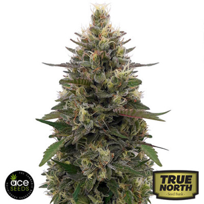 Pakistani Skunk FEMINIZED Seeds (Ace Seeds)