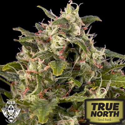 Auto Pineapple Express Feminized Seeds (G13 Labs)