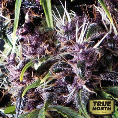 AUTO Purple FEMINIZED Seeds (Pyramid Seeds)