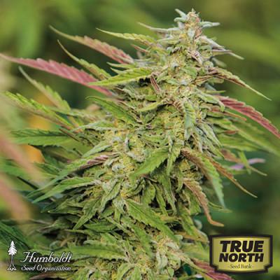 Purple Trainwreck Feminized Seeds (Humboldt Seed Org)