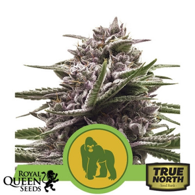 Royal Gorilla Automatic Feminized Seeds (Royal Queen Seeds)