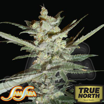 Supersonic Cristal Storm Autoflowering Feminized Seeds (Samsara Seeds)