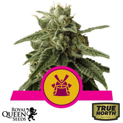 Shogun Feminized Seeds (Royal Queen Seeds)