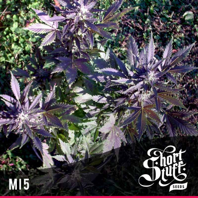 MI5 AUTOFLOWERING REGULAR Seeds (Shortstuff Seeds)