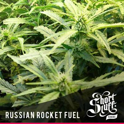 Russian Rocket Fuel AUTOFLOWERING REGULAR Seeds (Shortstuff Seeds)