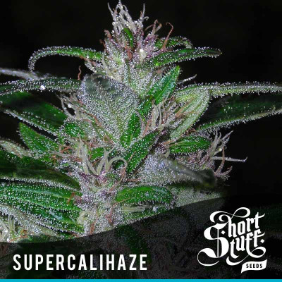 Super Cali Haze AUTOFLOWERING FEMINIZED Seeds (Shortstuff Seeds)