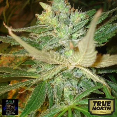 Strawberry Cough Feminized Seeds (BC Bud Depot)