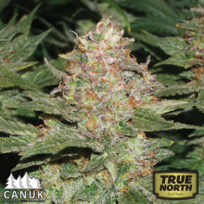 Strawberry Cough Feminized Seeds (Canuk Seeds) - ELITE STRAIN