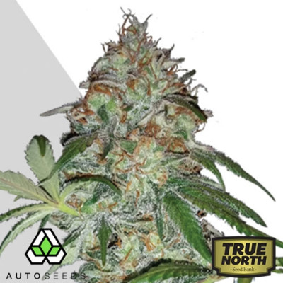 Sucker Punch AUTO FEMINIZED Seeds (Auto Seeds)