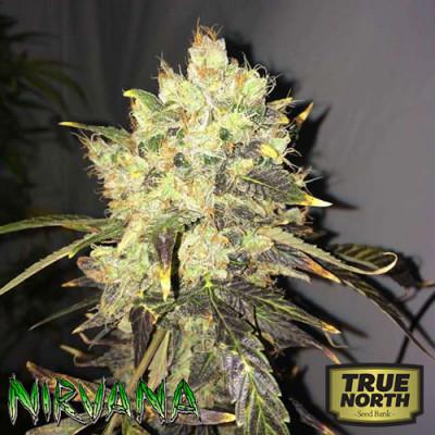 Supreme CBD Durban FEMINIZED Seeds (Nirvana Seeds)