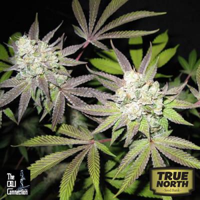 Tiramisu FEMINIZED Seeds (Cali Connection)