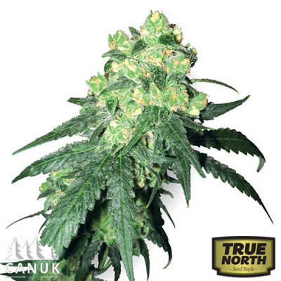 White Rhino Feminized Seeds (Canuk Seeds)