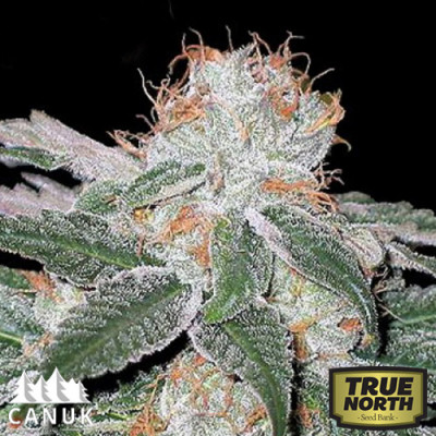 White Widow Feminized Seeds (Canuk Seeds)