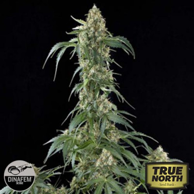 White Widow Feminized Seeds (Dinafem)