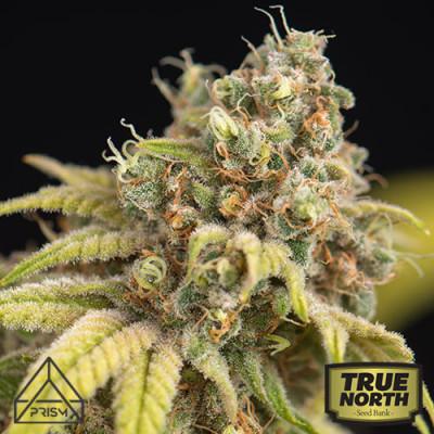 White Widow x Crystal Meth Auto Feminized Seeds (Prism Seeds)